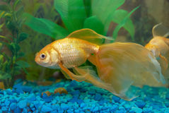 Tropical golden fish Stock Image