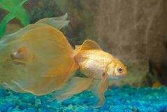 Tropical golden fish Royalty Free Stock Images