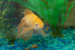 Tropical golden fish Royalty Free Stock Photography