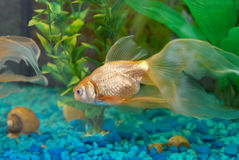 Tropical golden fish Stock Photography