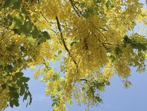 Tropical Golden Shower flowers Cassia fistula L. with clear blue sky on sunny day. Tropical bright yellow Golden Shower flower Cassia fistula L. with clear blue stock photos