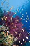 Tropical goldfish and coral reef. A school of Lyretail anthias (Pseudanthias squamipinnis) over a coral reef. Red Sea, Egypt Royalty Free Stock Image