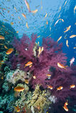 Tropical goldfish and coral reef. A school of Lyretail anthias (Pseudanthias squamipinnis) over a coral reef. Red Sea, Egypt Stock Images