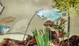 Tropical gourami fish trichogaster in the aquarium