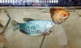 Tropical gourami fish trichogaster in the aquarium