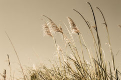Tropical grass. The tropical grass and blue sky background Stock Photography