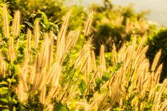 Tropical grass in golden light at sunse6 near to the ocean Royalty Free Stock Images