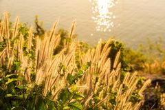 Tropical grass in golden light at sunse6 near to the ocean Stock Images