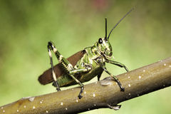 tropical grasshopper green background copy space Royalty Free Stock Images