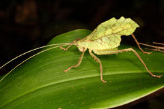 Tropical grasshopper on a leaf. Royalty Free Stock Photos