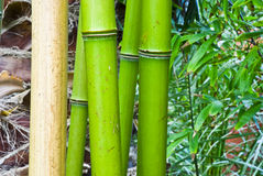 Tropical green bamboo Royalty Free Stock Photography