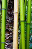 Tropical green bamboo Stock Image