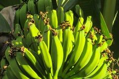 Tropical green bananas stock photography