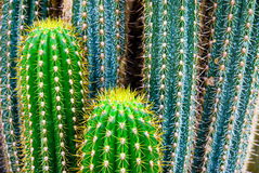 Tropical green cactus - cacti Stock Photography