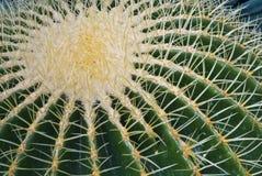 Tropical green cactus - cacti Stock Image