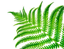 Tropical Green Fern Frond. A fresh late springtime lime green fern frond has steadily grown to begin its summer long journey of growth showing us mother natures royalty free stock photos