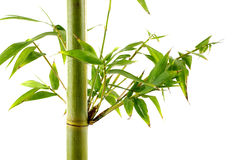 Tropical green fresh bamboo shoots. On whute Stock Image