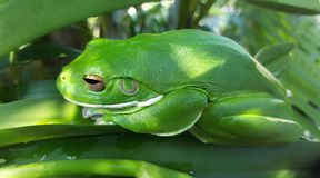 Tropical green frog. Close up of a Tropical green frog Stock Image