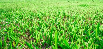 Tropical green grass Royalty Free Stock Photography