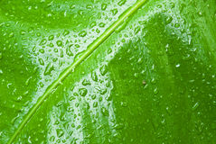 Tropical green leaf - abstract background Stock Photo