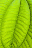 Tropical green leaf - abstract background Stock Photography