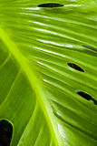 Tropical green leaf - abstract background Stock Images