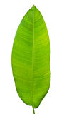 Tropical green leaf Royalty Free Stock Image