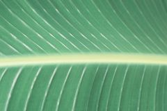 Tropical green leaf close-up, texture, abstract background. Toned royalty free stock photo