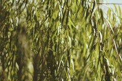 Tropical green leaf in the garden. Liu leaf stock photography