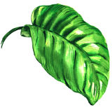 Tropical green leaf isolated, watercolor illustration on white Stock Image