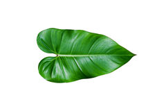 Tropical green leaf isolated on white Stock Photos