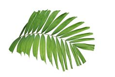 Tropical green leaf palm plant isolated on white background, path stock images