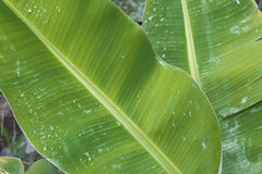 Tropical green leaf plant with water drops Stock Photo