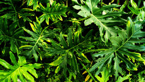 Tropical green leaf. Vertical garden with tropical green leaf, contrast Royalty Free Stock Photo