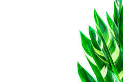 The Tropical green leaf on white background as frame border with Royalty Free Stock Photography