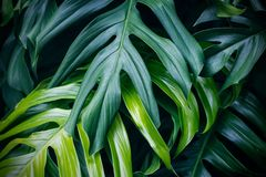 Tropical green leaves, nature summer forest plant. Tropical green leaves on dark background, nature summer forest plant concept stock images
