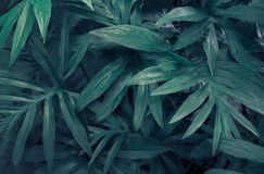 Tropical green leaves of Lasia spinosa on dark background, royalty free stock photography