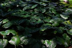 Tropical green leaves in natural light and shadow with green toned color and selective focus stock images