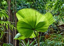 Tropical green leaves royalty free stock image