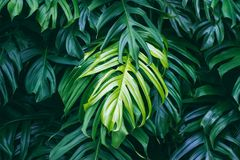 Tropical green leaves, nature summer forest plant royalty free stock photo