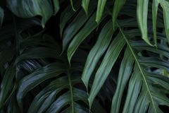 Tropical green leaves, nature summer forest plant. Tropical green leaves on dark background, nature summer forest plant concept royalty free stock images