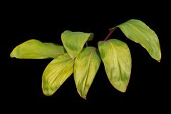 Tropical Green Leaves Plant isolated on black background with clipping path included. Tropical Green Leaves Plant isolated on black background with clipping stock photos