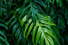 Tropical green leaves after raining, nature summer forest. Tropical green leaves after raining on dark background, nature summer forest plant concept royalty free stock photography