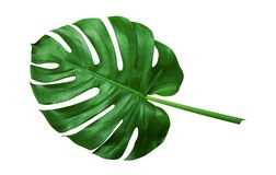 Tropical green leaves on white background stock photos