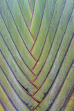 Tropical green palm tree background macro Royalty Free Stock Images