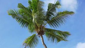Tropical green palm tree with blue sky moving. Tropical green palm tree with blue sky stock video