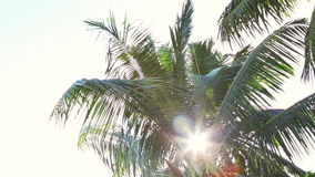 Tropical green palm tree at evening light. Tropical green palm tree in evening light stock video footage