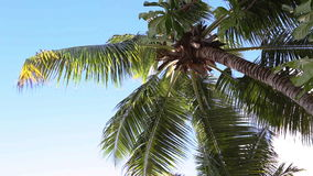 Tropical green palm trees with blue sky moving. Tropical green palm trees with blue sky stock video footage
