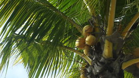 Tropical green palm trees, pan shot, zoom in stock footage