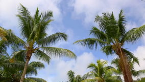 Tropical green palm waving in the wind. Tropical green palm with blue sky stock footage
